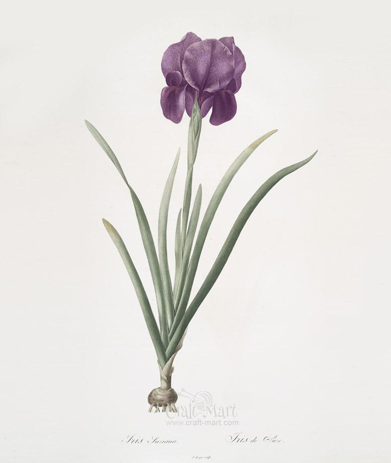 iris flower free print
