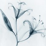 FREE printable 8x10 pictures of flowers produced with kirlian and x-ray methods