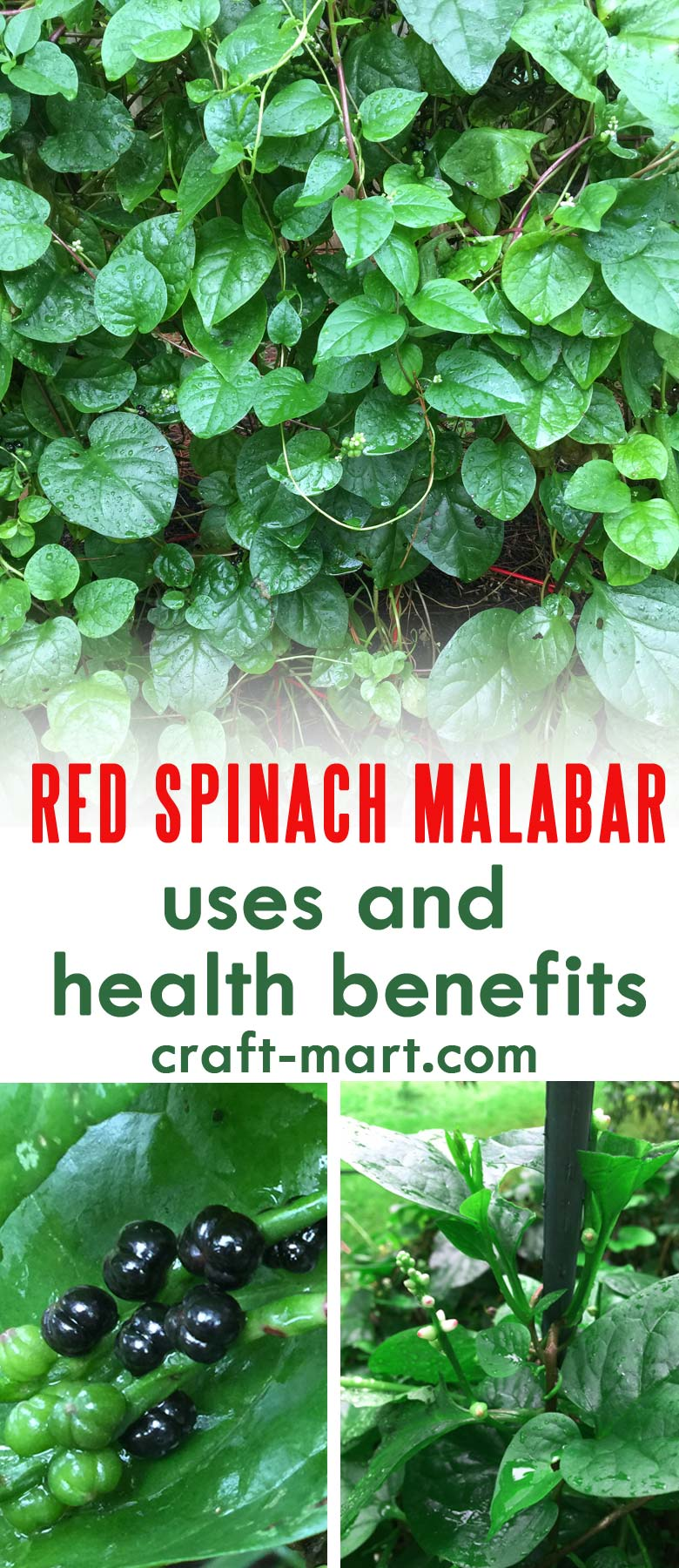 Also known as Ceylon spinach, climbing spinach, gui, acelga trapadora, bratana, libato, vine spinach and Malabar nightshade, Red Spinach Malabar is a member of the Basellaceae family. #growingredspinachmalabar #easytogrowherb #healthbenefitsofspinachmalabar