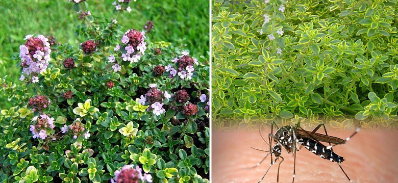 Mosquito Repelling Creeping Lemon Thyme - Live Plant