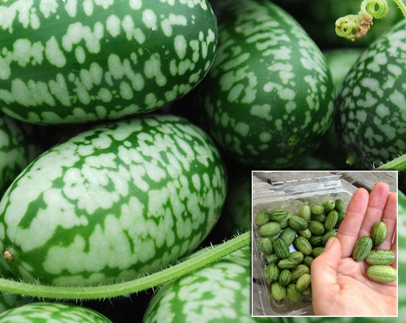 Miniature watermelon cucumbers