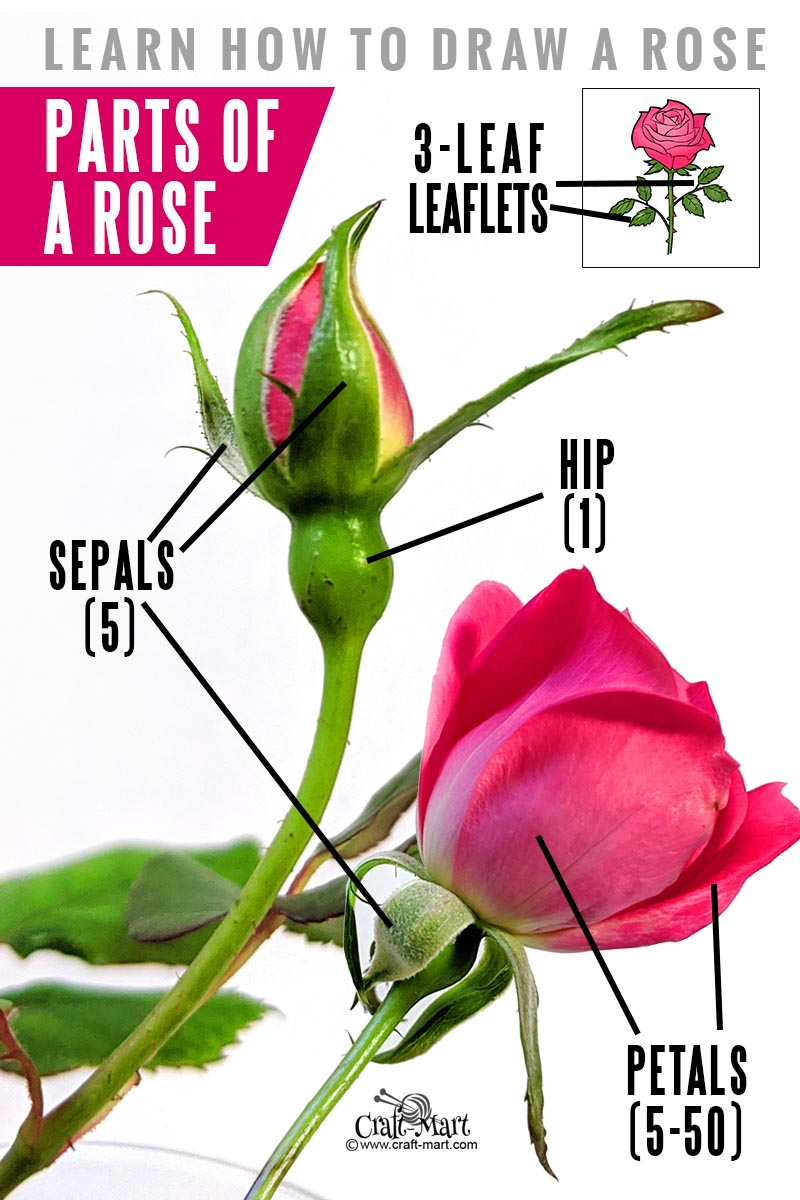 learn parts of a rose before starting your drawing