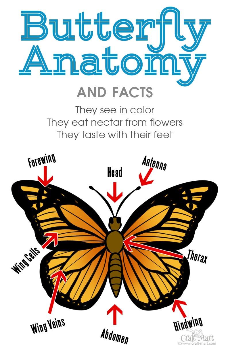 butterfly anatomy diagram